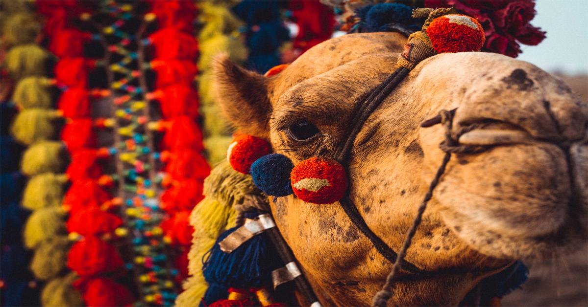 Camel dressed in Egypt