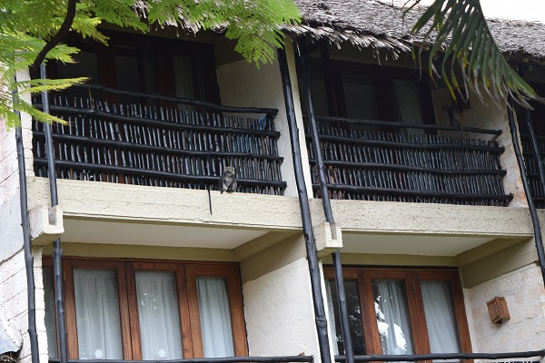 Monkey sitting on second floor baobab resort room