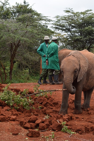 Two staff members in green with elephant picking up tree with tusk