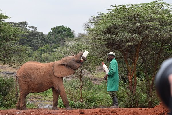 elephant being fed milk by man in green trench coat