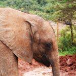 Elephant and Orphanage staff in Nairobi, Kenya